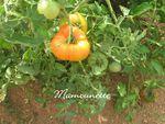 Tomates_bio___l_ancienne_du_jardin_29