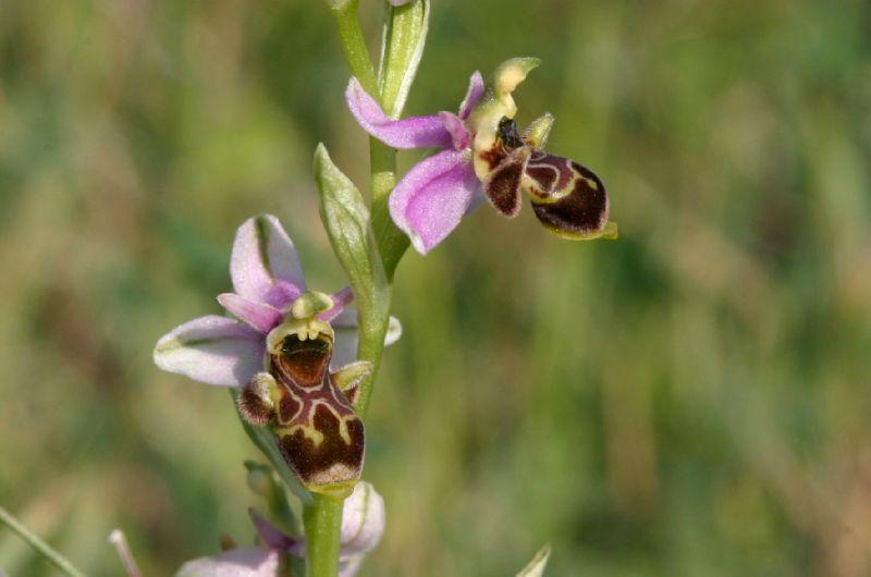 Ophrys santonica_Les Sièges_XRu