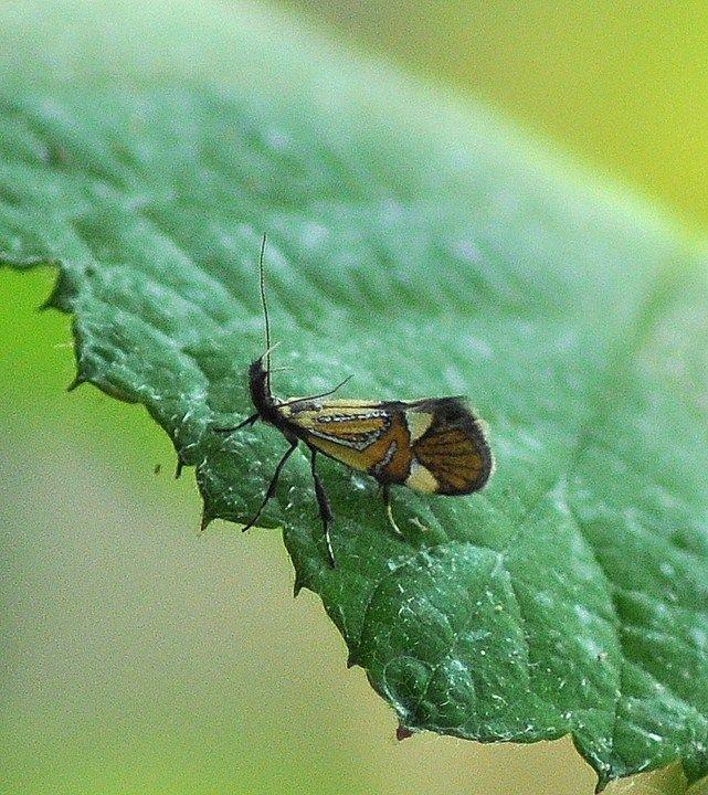Alabonia geoffrella (Linnaeus, 1767) Oecophore nervurée