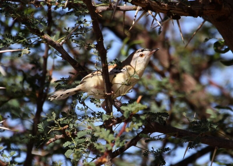 Spiloptila clamans ad5_Route d'Awserd_Maroc_XRu