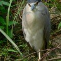 Bihoreau/black-crowned night heron/夜鷺 (nycticorax nycticorax)