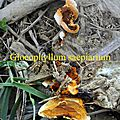 Gloeophyllum saepiarium
