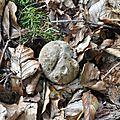 Boletus calopus (1)