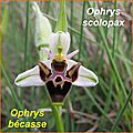 Ophrys scolopax - bécasse - comp