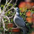 Pigeon se désaltérant au Bistrot des 3 moineaux du jardin