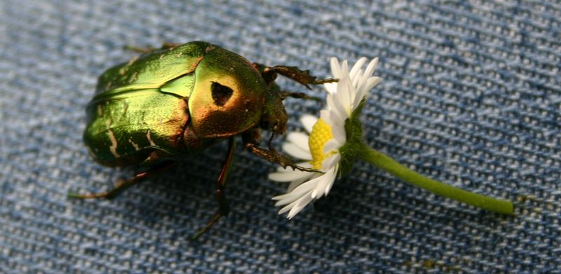 scarabet paquerette