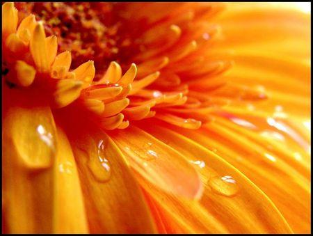 fleur orange zoom goutte