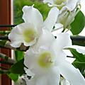Une orchidée : le dendrobium
