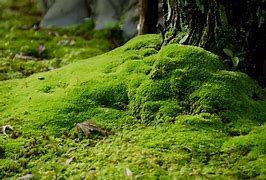 les mousses plantes