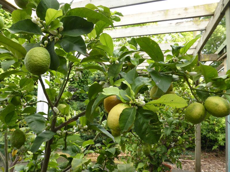 7-citronniers, citrons (26)