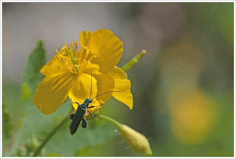 mur fleur chelidoine oedemere verdatre 100515