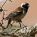 Moineau du Cap mâle (passer melanurus) Sossusvlei Namibie