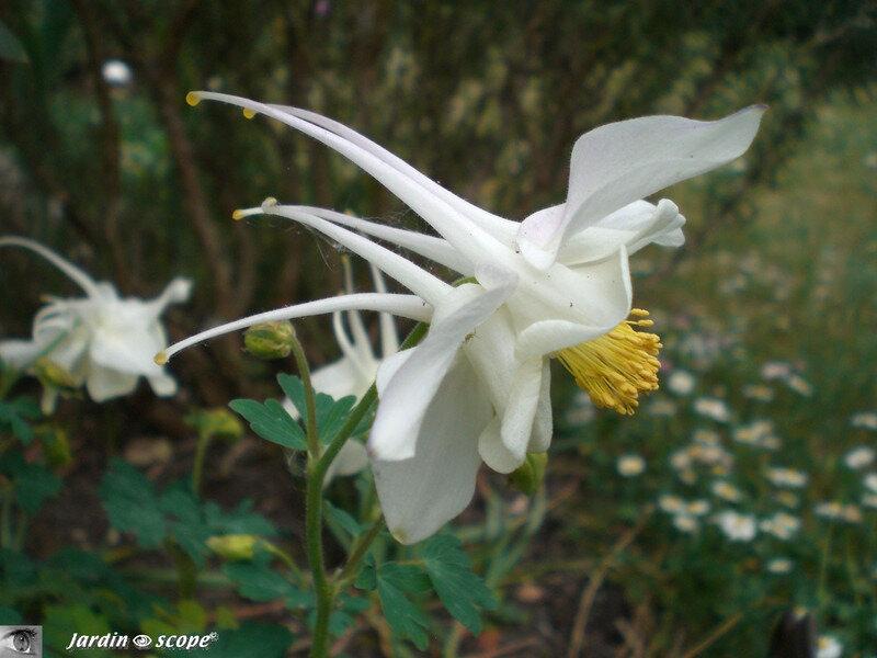 Aquilegia caerulea Snow queen