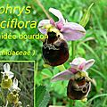 52 Ophrys fuciflora