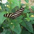 Heliconius charithonia • Heliconiidae • Costa Rica