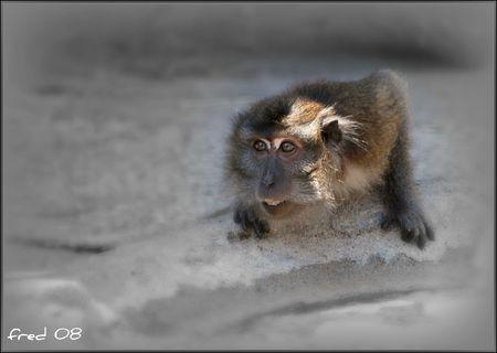 macaque_de_Java_sign_e