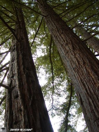 sequoia_sempervirens