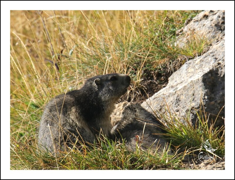 Famille marmotte 9