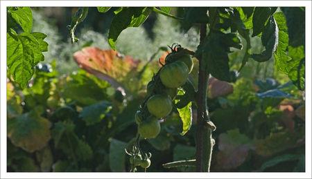 tomates_vertes_jardins_QM_matin_270609
