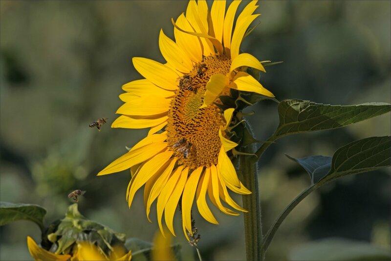 plaine tournesols abeilles 1 010815