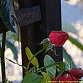 20/11/13 : dernière rose de l'été