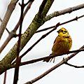 Bruant jaune - Emberiza citrinella (6)