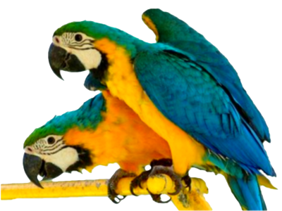 perroquet3