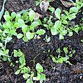 Mes semis de salade,mes choux de bruxelles,et mon vieux géranium; bonne soirée a vous tous♥
