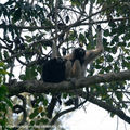 Gibbon à bonnet_couple_Khao Yai_XRu