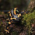 Salamandre tachetée, Salamandra salamandra