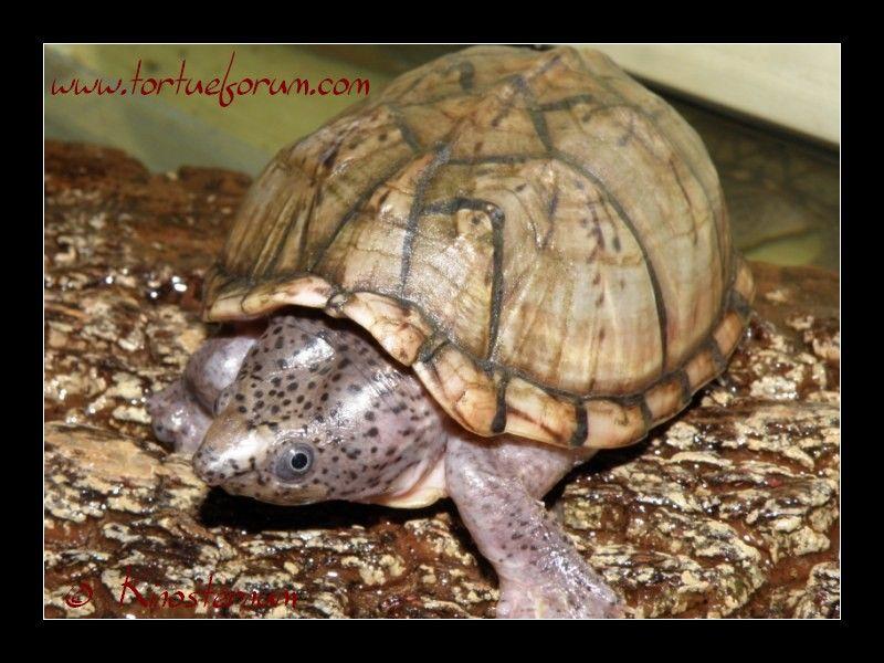 Sternotherus minor minor (3)