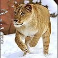 lionne courant dans neigew6hhbo1_500