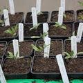 2009 04 07 Mes plants de tomates en godets sous serre