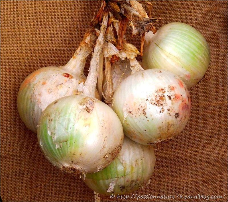 Les légumes d'autrefois (12)
