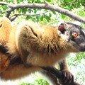 Les maki de Mayotte
