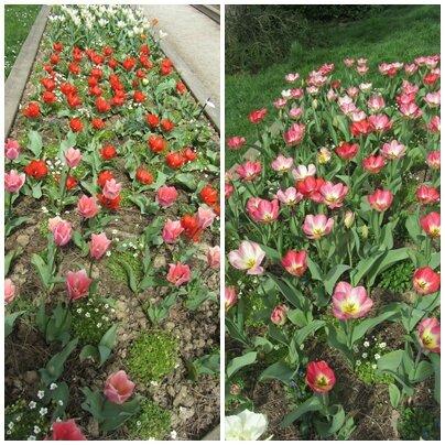 tulipes 4