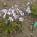 phlox subulata blue eyes