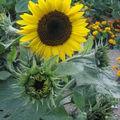 2008 09 01 Première fleur de Soleil Waooh