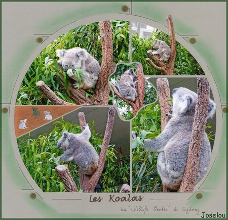Koalas_3