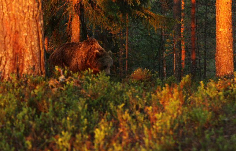 Ursus arctos_femelle_arrivée du vallon_Finlande2011_XRu