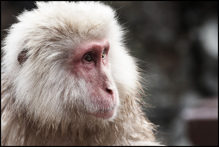 156-Snow-Monkey-19