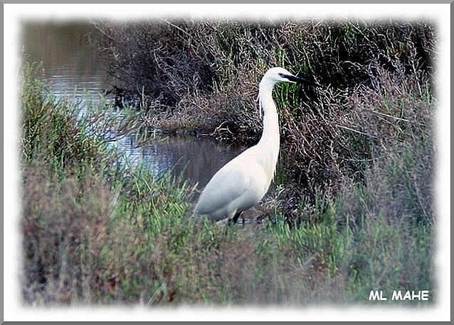 AIGRETTE PHOTO ML MAHE