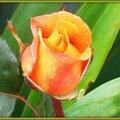 Rose orange 080515