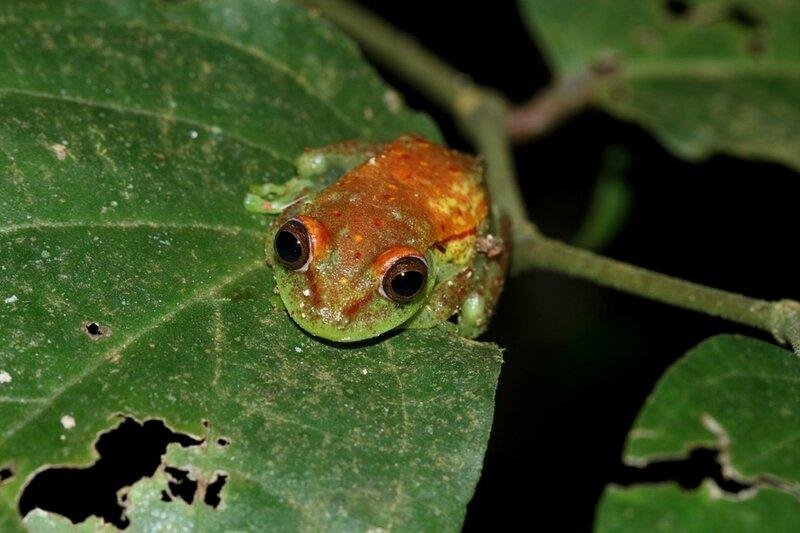 Hypsiboas punctata