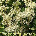 10 Filipendula ulmaria
