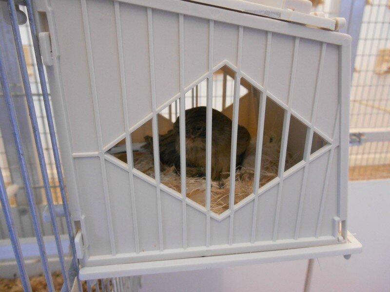 femelle sur leur nid 002