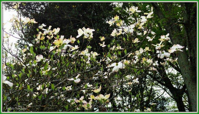 Fleurs de Tulipier 2104155