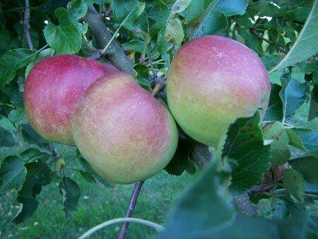 1_fruits_des_pommes_0001