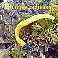 Mutinus caninus