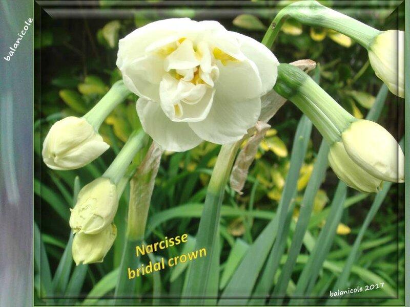 balanicole_2017_03_le printemps des vivaces_40_narcisse14